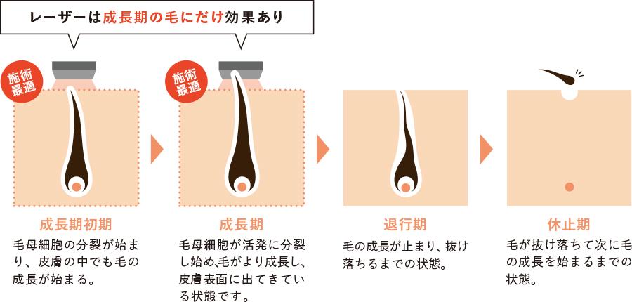 毛周期についての説明